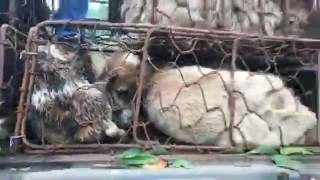 Rescued last night from a slaughterhouse on the edge of Yulin  These dogs wer    844281092404465   f