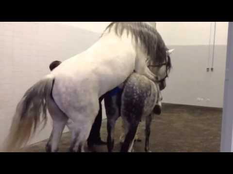 Recolha de sêmen em Cavalo