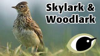 BTO Bird ID - Skylark & Woodlark