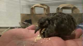 Baby Dove Learning to Eat Seeds