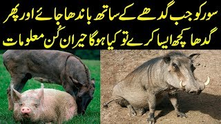 OMG! Hidden Facts About Pigs in Urdu/Hindi || Amazing Facts About Pigs || Urdu Information Lab