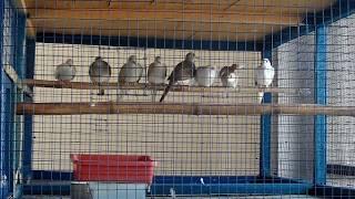 Diamond doves purchase ken bohot reasonable price main
