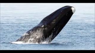 Baleine boréale à Oostende
