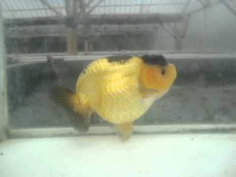 HYBRID RANCHU 2,BREED BY MR EVER TAGOLI,SHOW QUALITY,ANAL FIN TAIL TIDY
