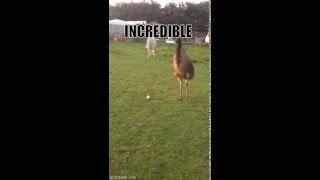 Emu Playing Fetch a Ball