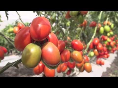 Tomates - AS 3742 - BHN