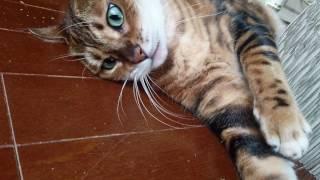 ベンガル猫軍団&ミッキーのママのお土産キャットニップで大盛り上がり❗