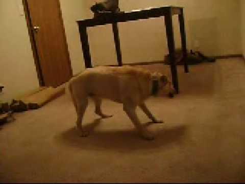 Bizkit the sleep walking Barking Dog