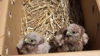 Sokol myšiar (Falco tinnunculus), Malacky 1.7.2017