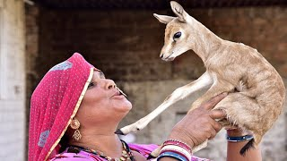 Bishnoi tribe mothers feeding the DEER with her own MILK and raise orphans like their own children