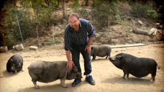 Pot Bellied Pigs As Therapy Animals
