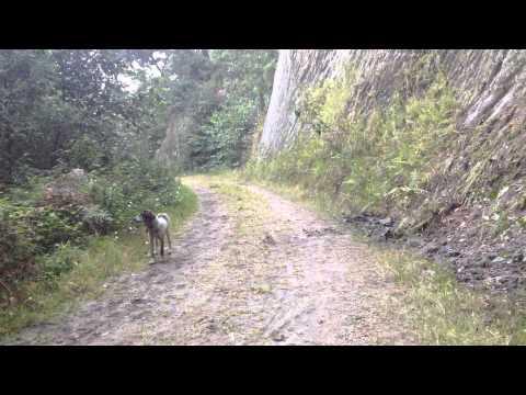 Tras la zorra con perros de rastro