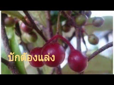 15 ผลไม้สุดแปลกอิสาน บักต้องแล่ง บักหวดข่า บักคยลิง บักตาไก้ บักเขียบ บักเกีย  fruit Thailand weird
