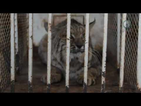 Capturan gato montes en calles de Matamoros