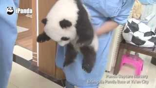 What is the happiest job in the world? A panda nanny!