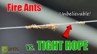 OMG! FIRE ANTS WALK THE TIGHT ROPE