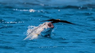 Bird vs Fish - Blue Planet II