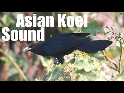 Asian Koel Sound Effect
