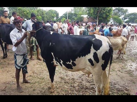 Xxx Mp4 604 Dairy Cow Calves Market Price কম দামে উন্নত জাতের অনেক গাভি ও বাচ্চা গরুর দাম দেখুন 3gp Sex