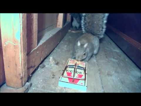 error al cazar ratas