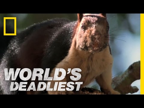 Cobra vs. Rat Snake | World's Deadliest