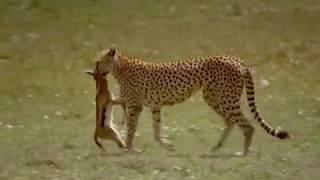 Cheetah Video Stock Footage Free Download | Animals HD Stock Footage | B Roll Footage | Wildlife