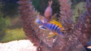 "African Cichlid Species - Labidochromis sp. ""Hongi"", Tanzania"