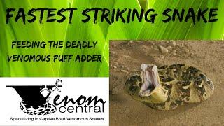 Feeding fastest striking snake in the world!