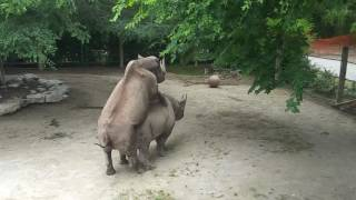 Rhinos getting it on at Fort Worth Zoo
