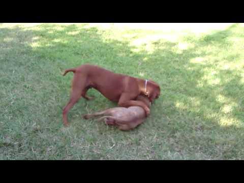 Rhodesian Ridgeback vs Pitbull HD