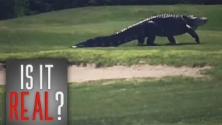 IS IT REAL?- Giant Gator Walks Across Florida Golf Course | Real Or Fake?