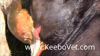 Abscess In Cattle, Veterinarian Doctor Helps By Performing Surgery