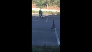 Goose attacks person and pants fall down while running