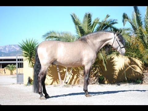 ESTIMADO caballo pura raza española caballo bayo pre spanish horse