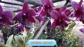 Batang Merah Bunga Merah Bunga Anggrek Dendrobium