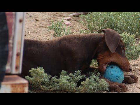 Xxx Mp4 Doberman Pinscher Puppy FOR SALE Red Male 3gp Sex