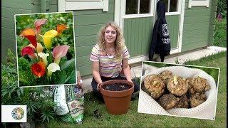 How to plant Calla Lilies (bulbs) - FarmerGracy.co.uk