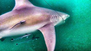 Shark Attacks Bonita!!! Underwater + Big Fish Moments Caught On Camera