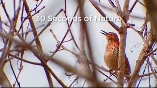 Episode 17 - 30 Seconds of Nature Screencast - Brown Thrasher Songs