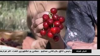 Iran Organic Cherry harvest, Oshnavieh county برداشت گيلاس ارگانيك شهرستان اشنويه ايران