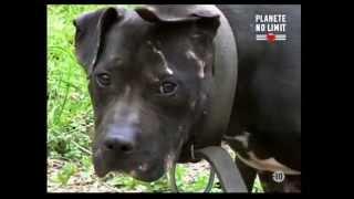 pitbull combat de chien pitbull combat de chien terrifiant!!!