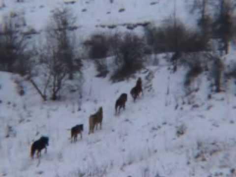 Božica Divlji konji Srbije