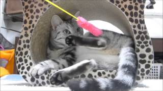 足の裏コチョコチョされる猫 ~母ちゃんまだまだ遊ぶニャヨ…Zzz ~Ticklish Cat gets sleepy
