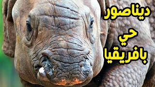 أضخم ديناصور حي يعيش في افريقيا يهدد حياة الناس ولكن لا يسمية الناس ديناصور بل وحيد القرن