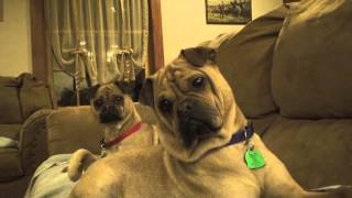 DOGS REACT TO CAT SOUNDS