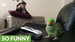 Monkey has mind blown by singing parrot