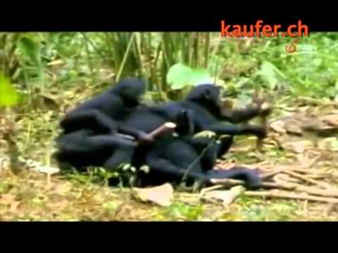 Xxx Mp4 Affen Auf Zack 04 Die Orgien Der Bonobo Affen Youtube Original 3gp Sex