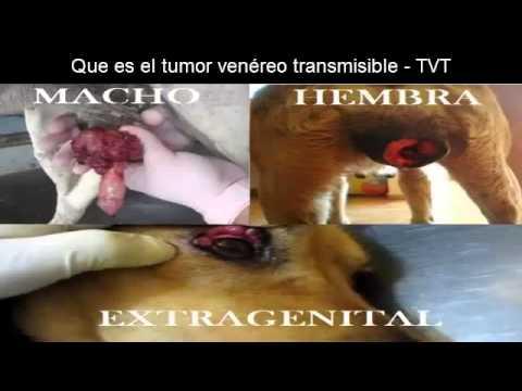 Xxx Mp4 Que Es El Tumor Venéreo Transmisible TVT 3gp Sex