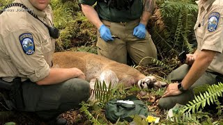 Bike ride turns deadly after cougar attack in Washington state