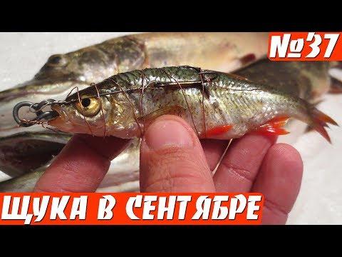 ловля щуки судака на мертвую рыбку